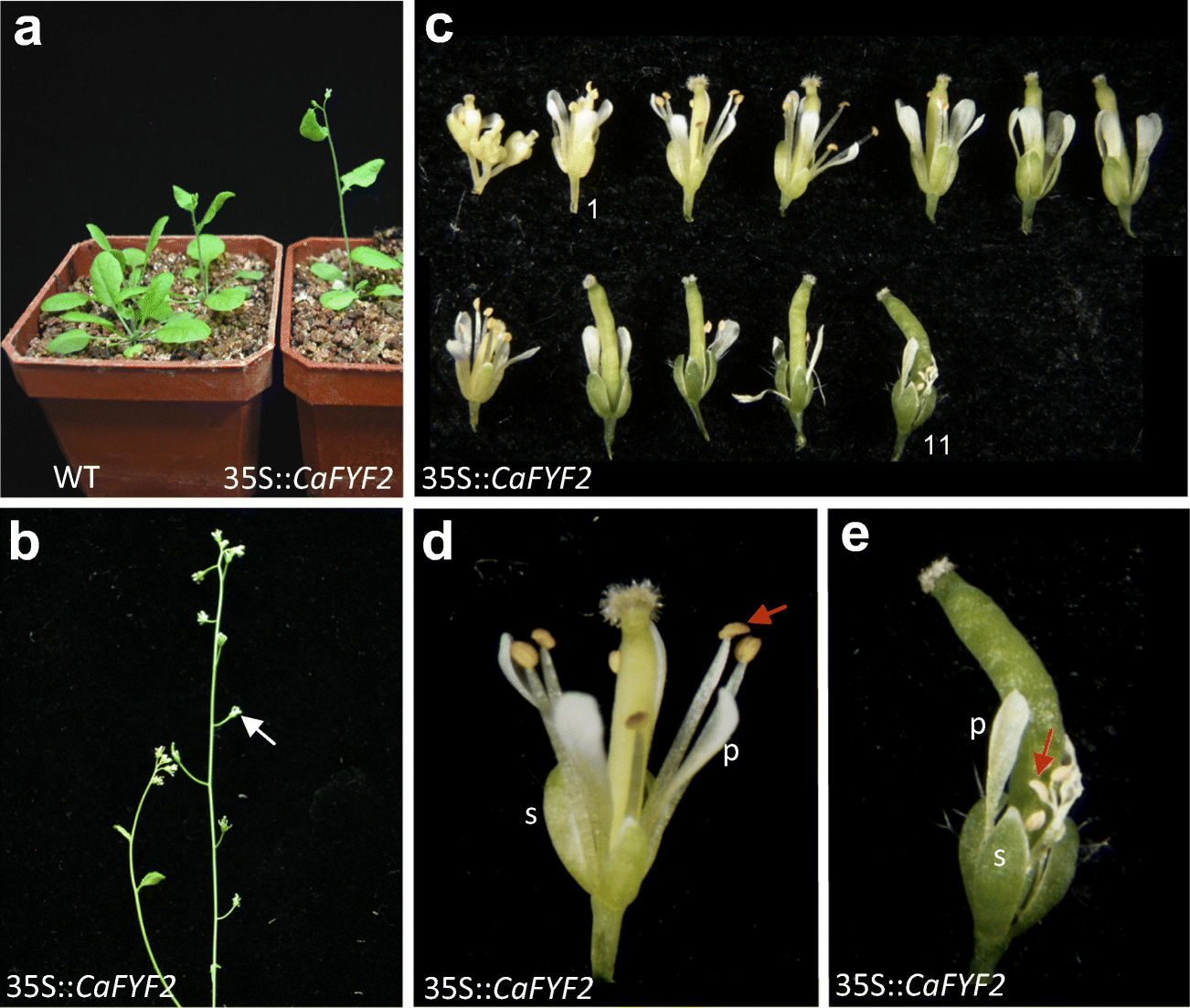 Ectopic Expression of Two FOREVER YOUNG FLOWER Orthologues from