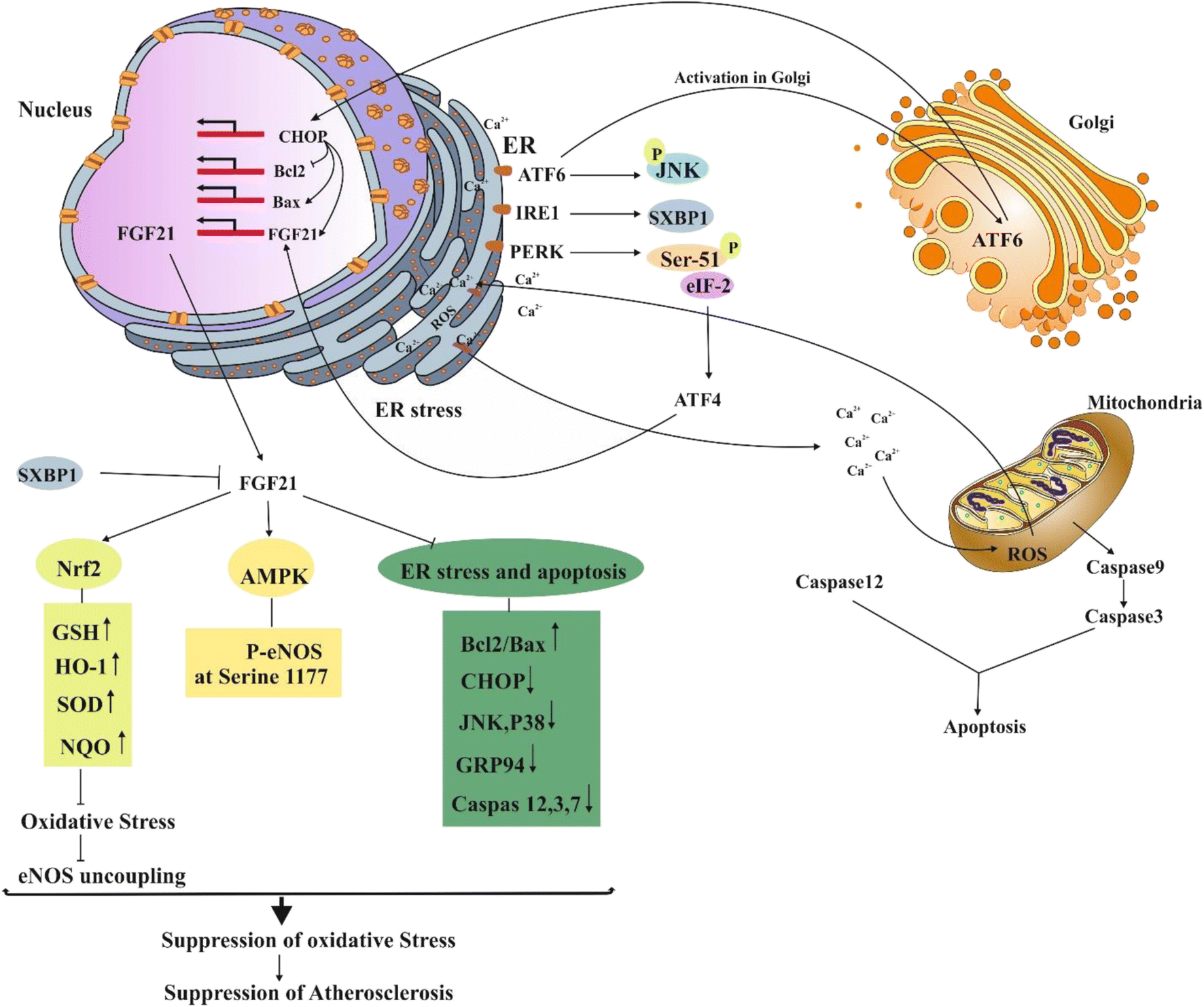 The roles of FGF21 in atherosclerosis pathogenesis