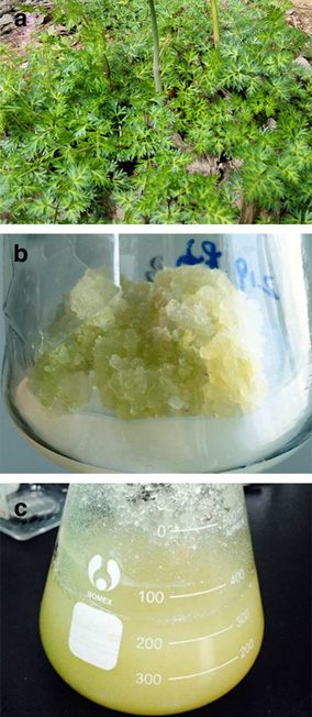 Elicitation of furanocoumarins in Changium smyrnioides suspension