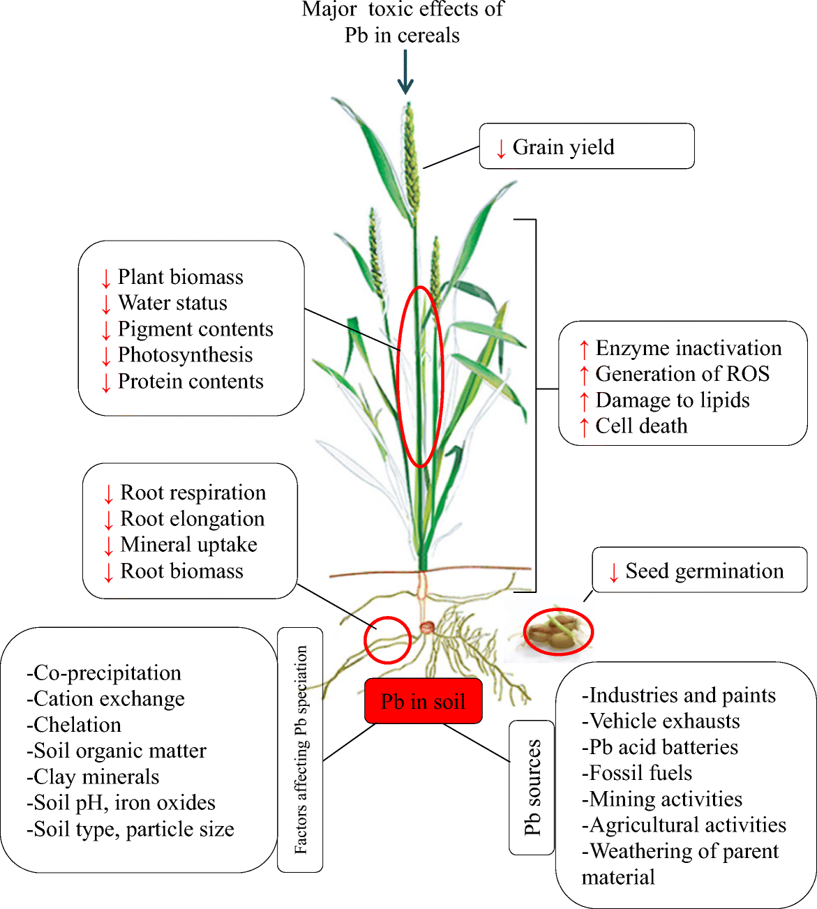 Lead Toxicity In Cereals And Its Management Strategies A Critical Manganese Zeolite Super 1 Kg