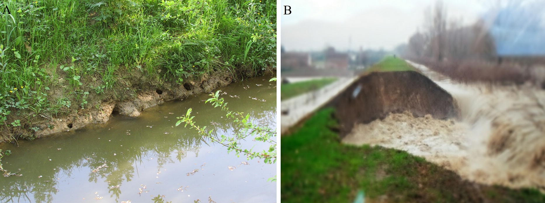 Burrowing activity of Procambarus clarkii on levees