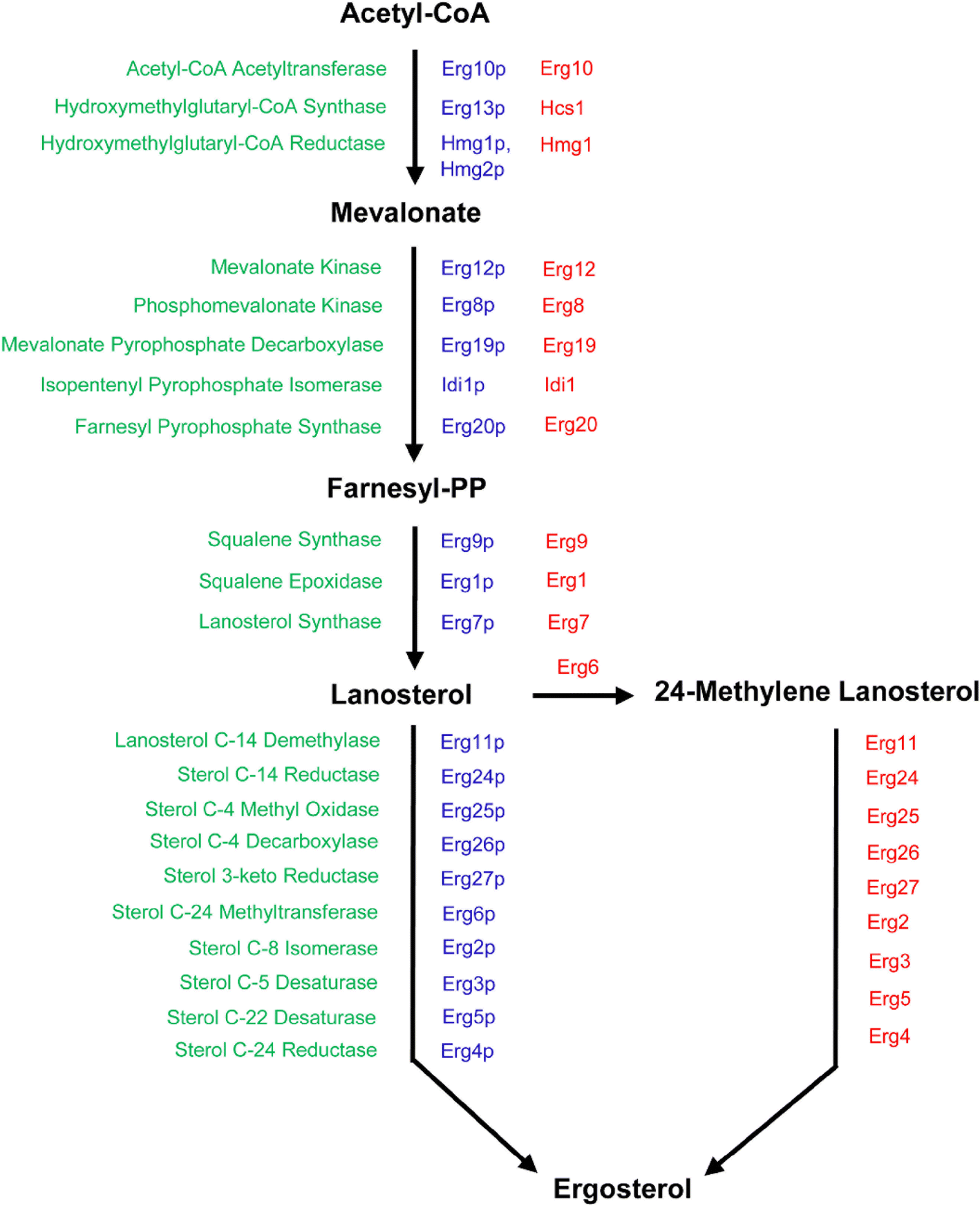 Outline of the biosynthesis and regulation of ergosterol in