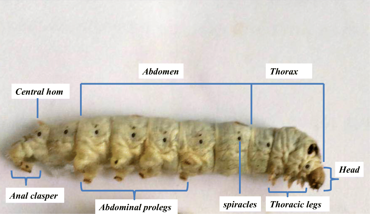 Silkworm, Bombyx mori, as an alternative model organism in