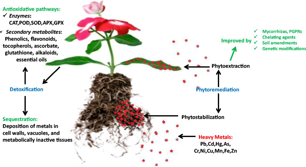 Phytoextraction of heavy metals from contaminated soil