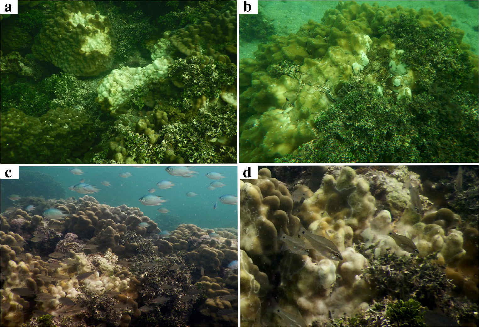 a2422323e0b57d Differential coral response to algae contact  Porites tissue loss ...