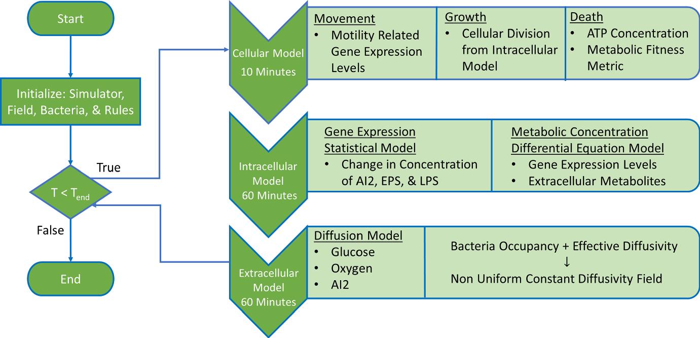 A Multiscale Agent-Based Model for the Investigation of E  coli K12