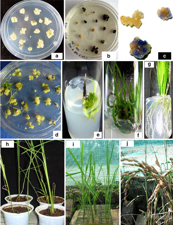 enhanced proline accumulation and salt stress tolerance of