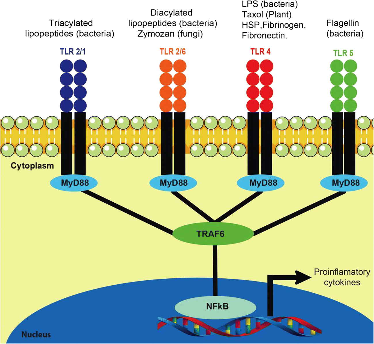 Tlr Activation And Allergic Disease Early Life Microbiome And