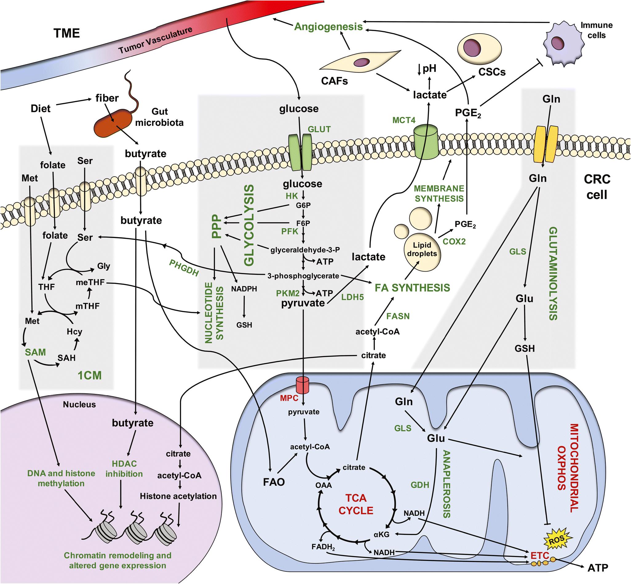 Colorectal Cancer and Metabolism | SpringerLink