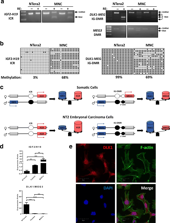 Analysis of the Paternally-Imprinted DLK1– MEG3 and IGF2