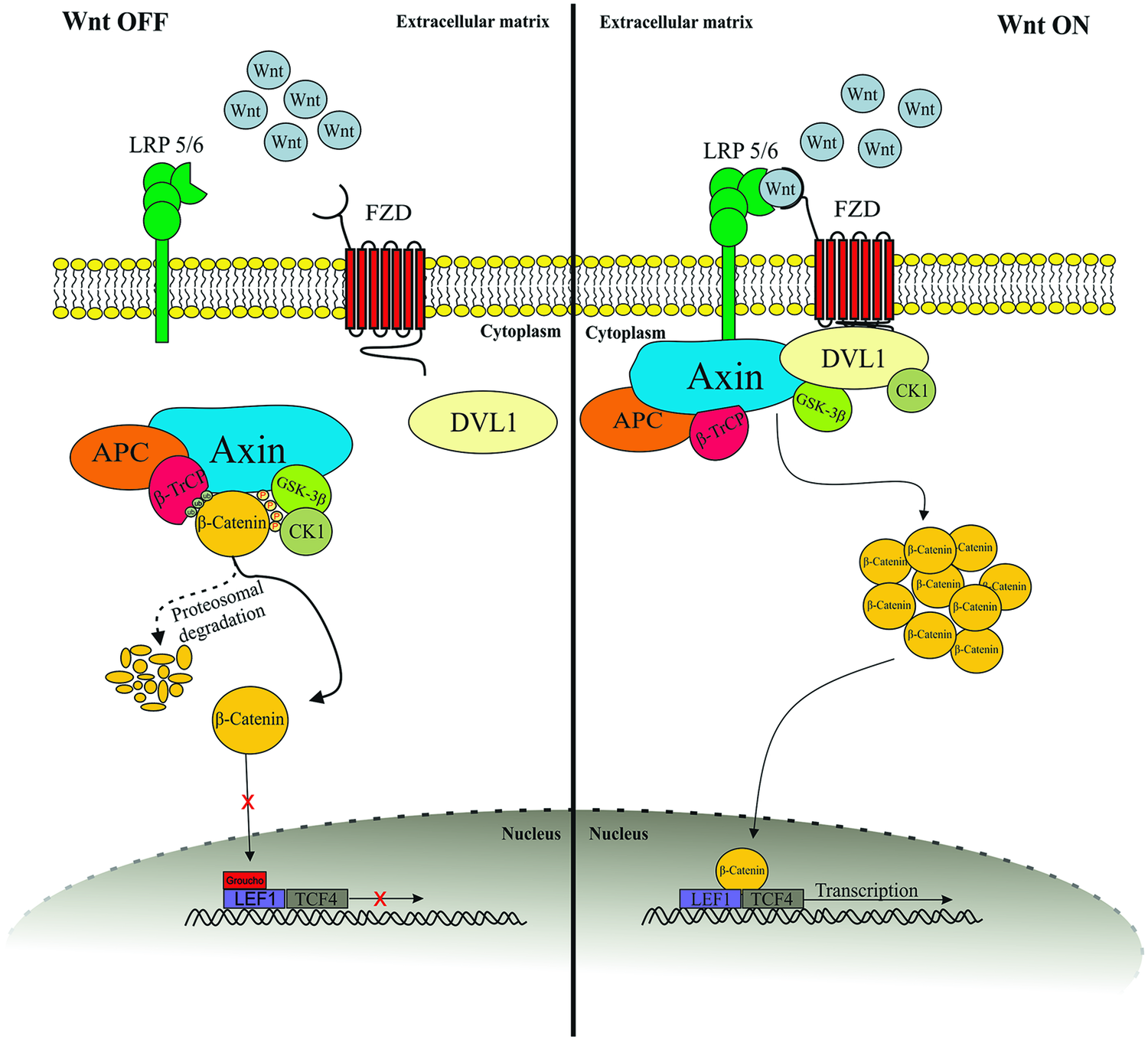 Contribution of the Wnt Pathway to Defining Biology of