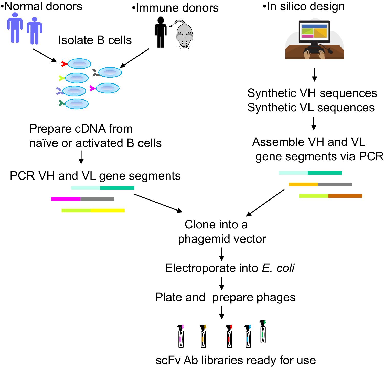 Phage Display Libraries: From Binders to Targeted Drug