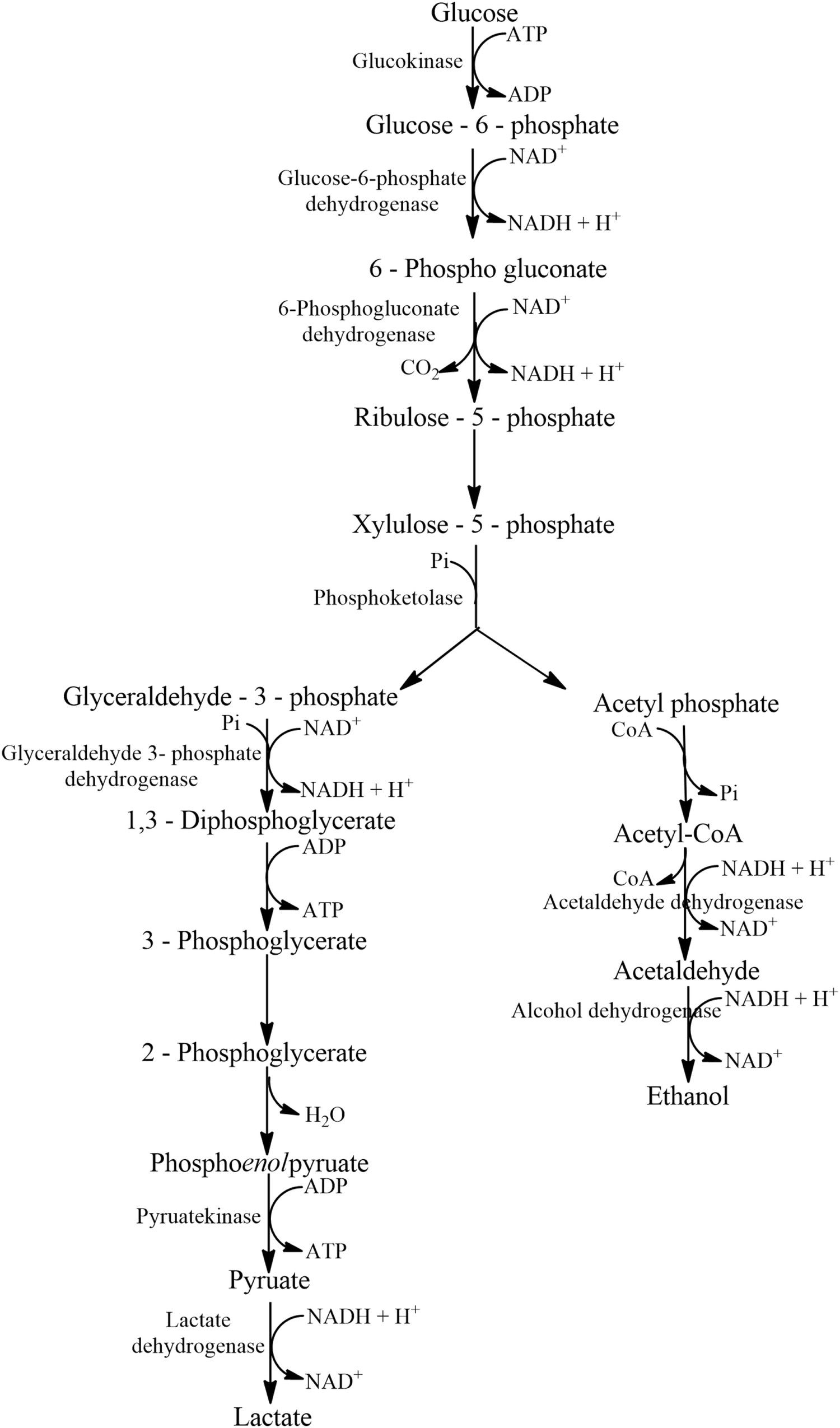 Genomics of Lactic Acid Bacteria for Glycerol Dissimilation