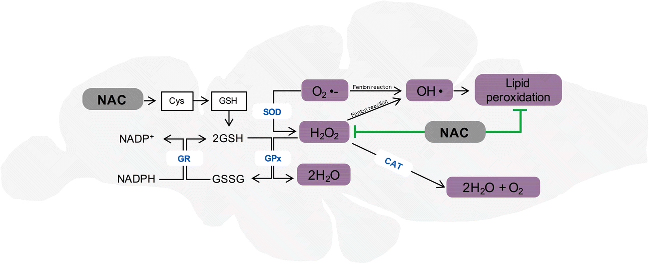 N-Acetylcysteine Reverses Anxiety and Oxidative Damage