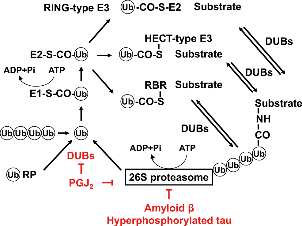 Pathophysiological Roles of Intracellular Proteases in