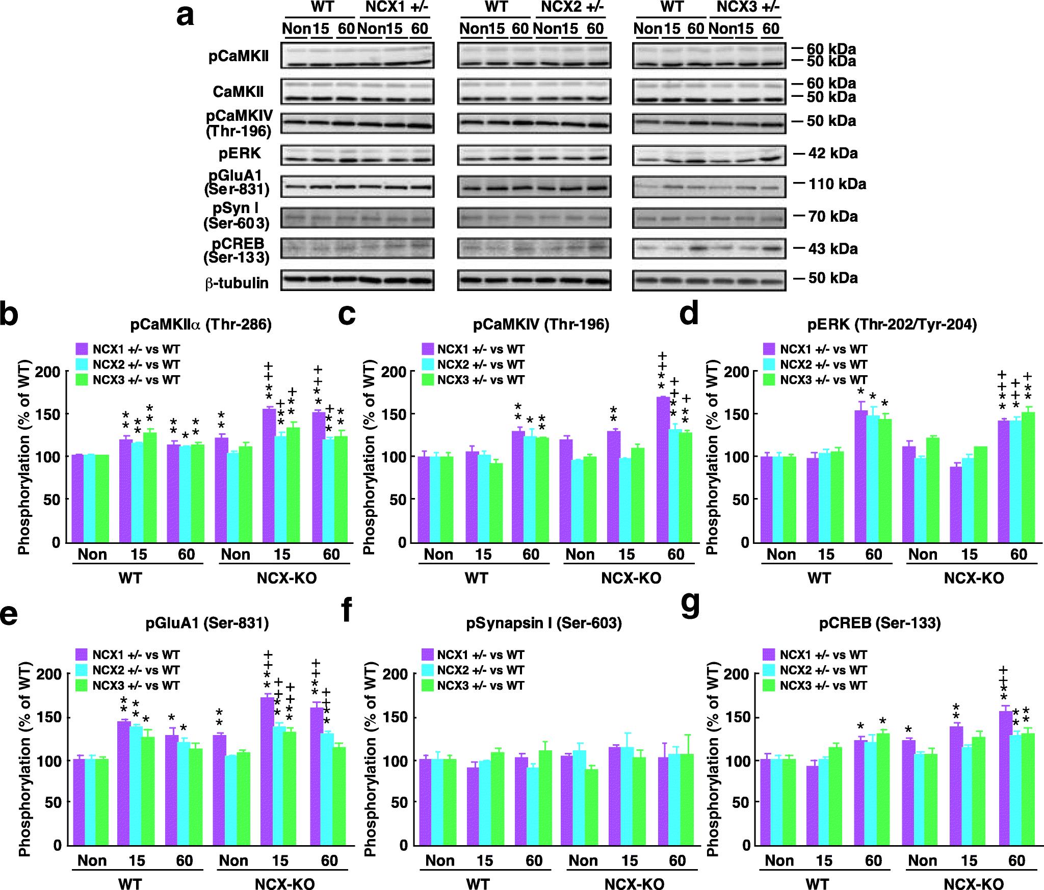 Aberrant Amygdala-Dependent Cued Fear Memory in Na+/Ca2+