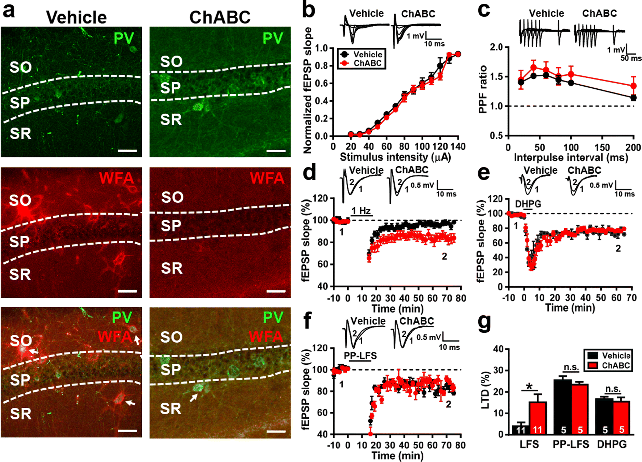 Perineuronal Nets Restrict the Induction of Long-Term