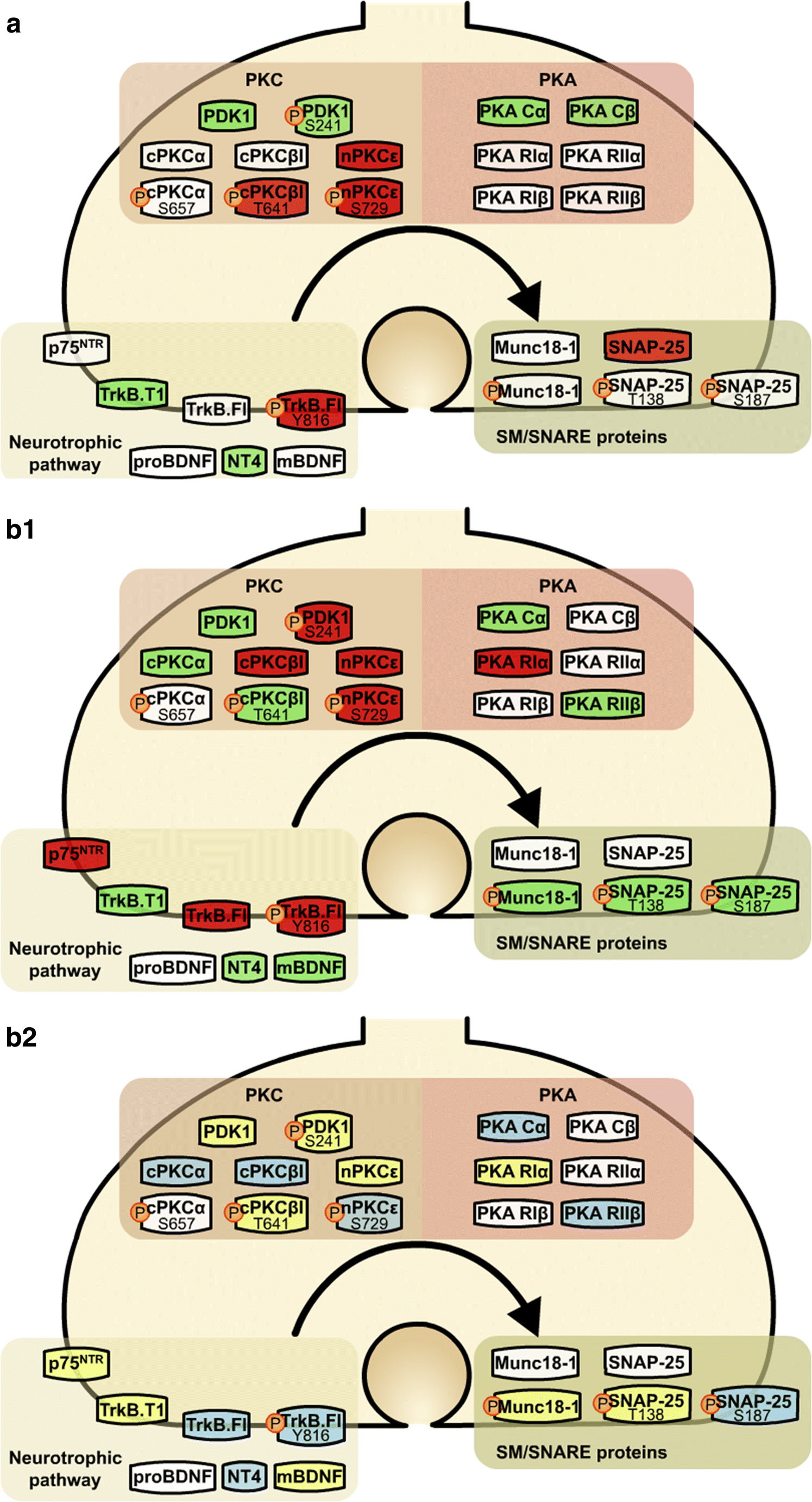 Overview of Impaired BDNF Signaling, Their Coupled Downstream Serine