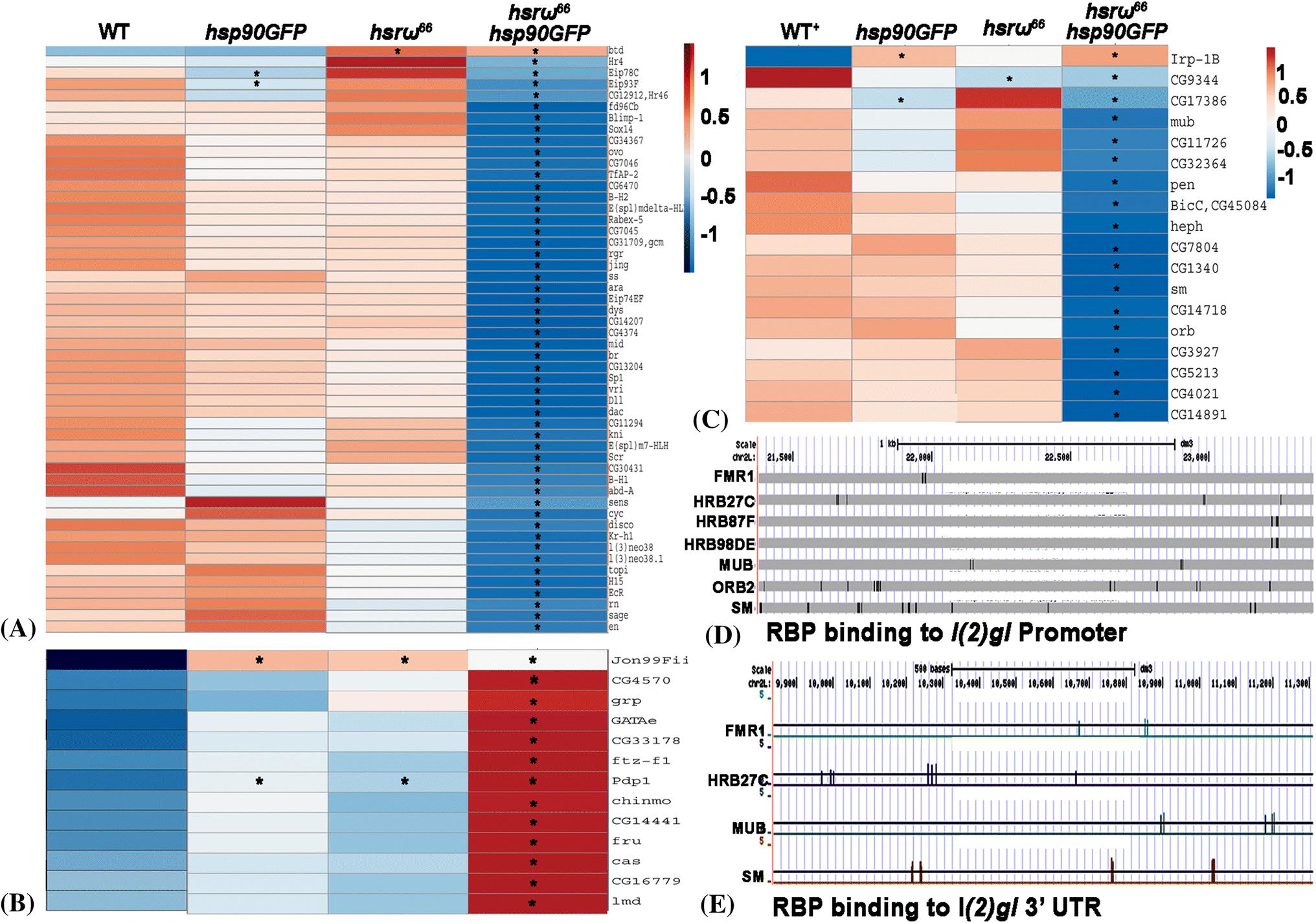 Over-expression of Hsp83 in grossly depleted hsrω lncRNA
