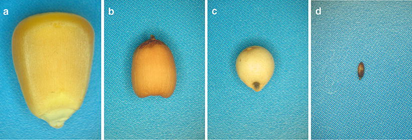 Evolution of the Genes Encoding Seed Storage Proteins in Sugarcane