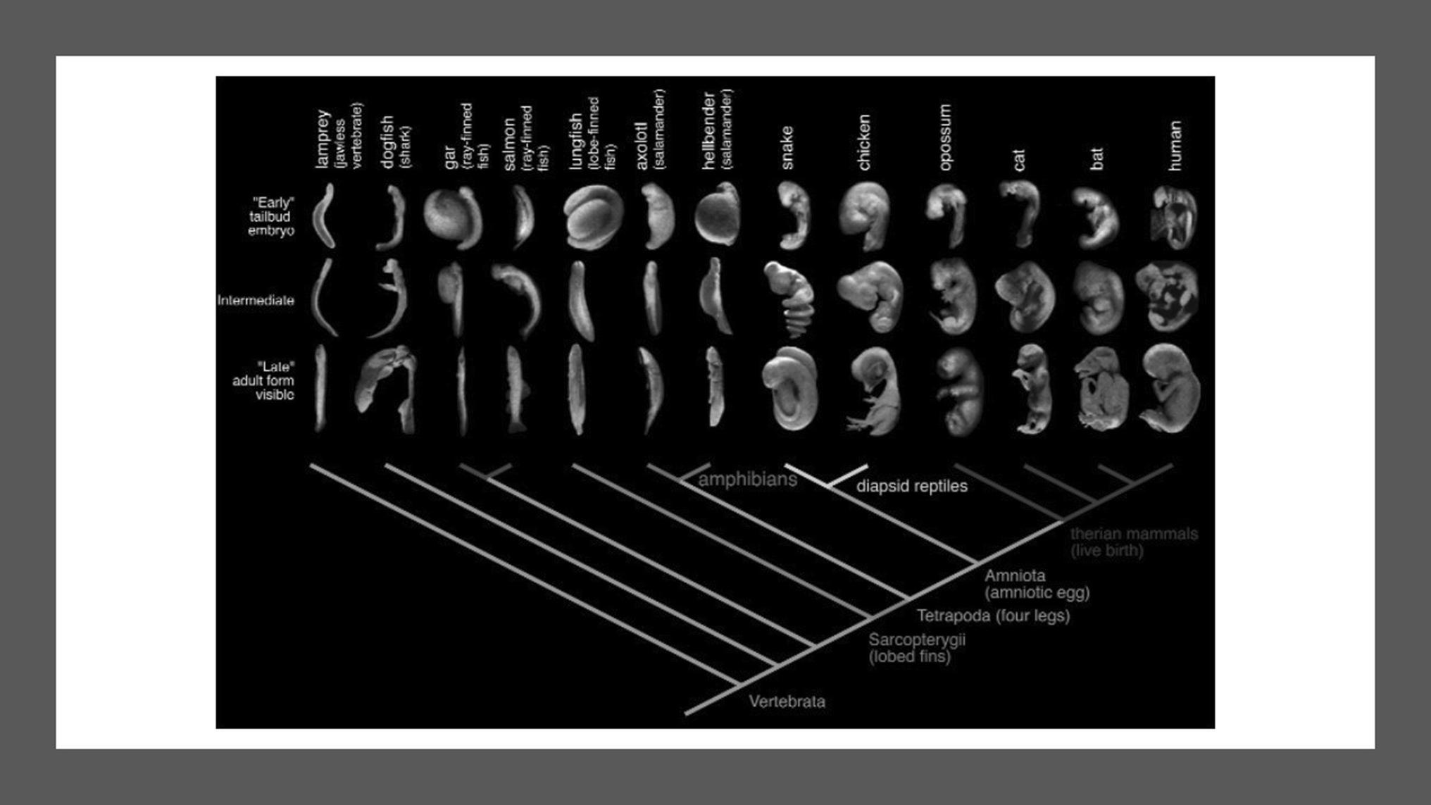 Ernst Haeckel's contribution to Evo-Devo and scientific