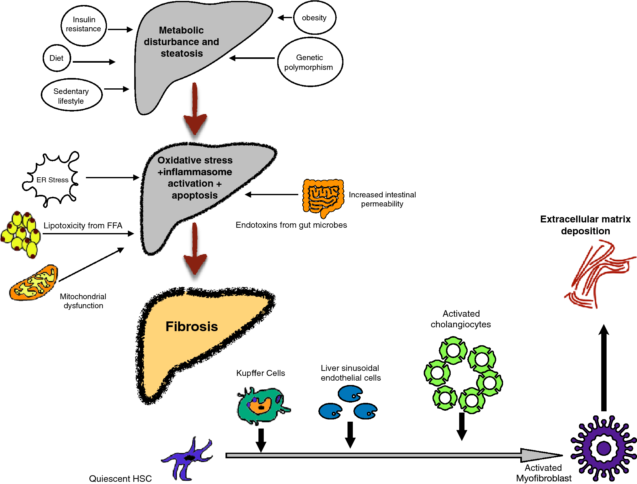 Reversal of NASH fibrosis with pharmacotherapy | SpringerLink