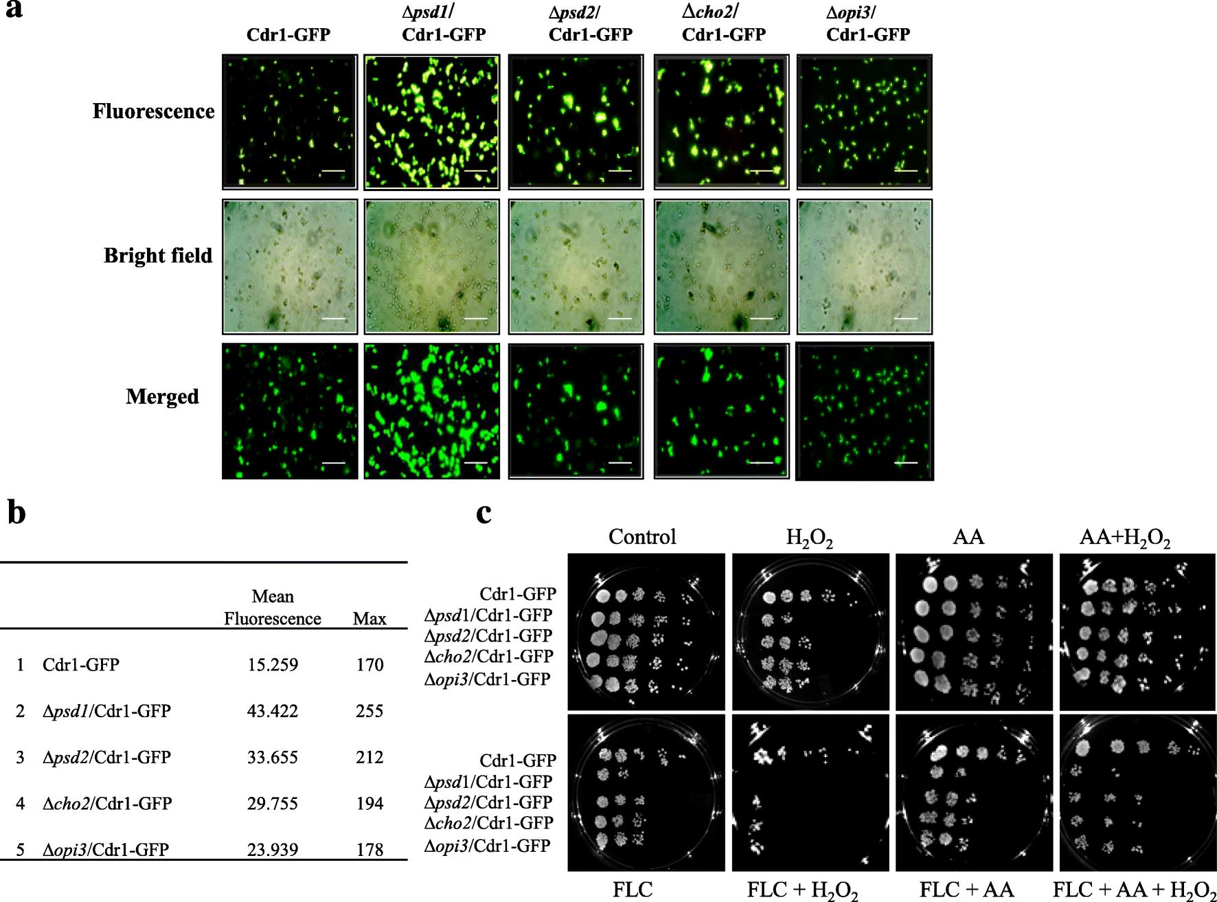 Phospholipid biosynthesis disruption renders the yeast cells