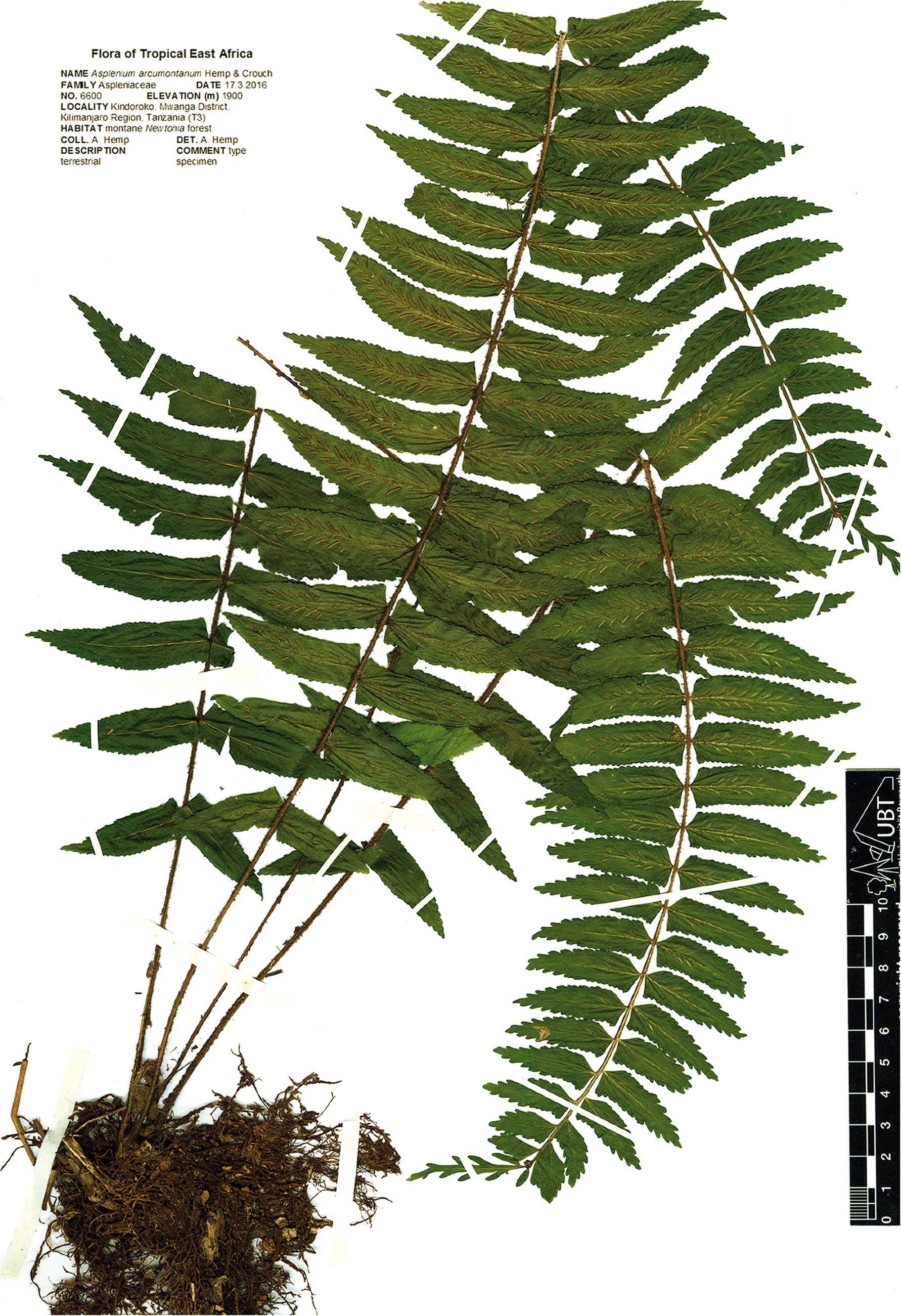 Asplenium arcumontanum (Aspleniaceae), a new species from