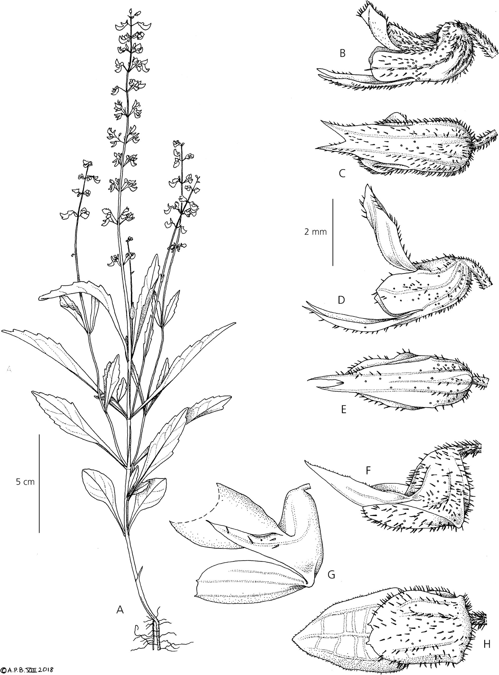 Three species of Coleus (Lamiaceae) from the Guinean