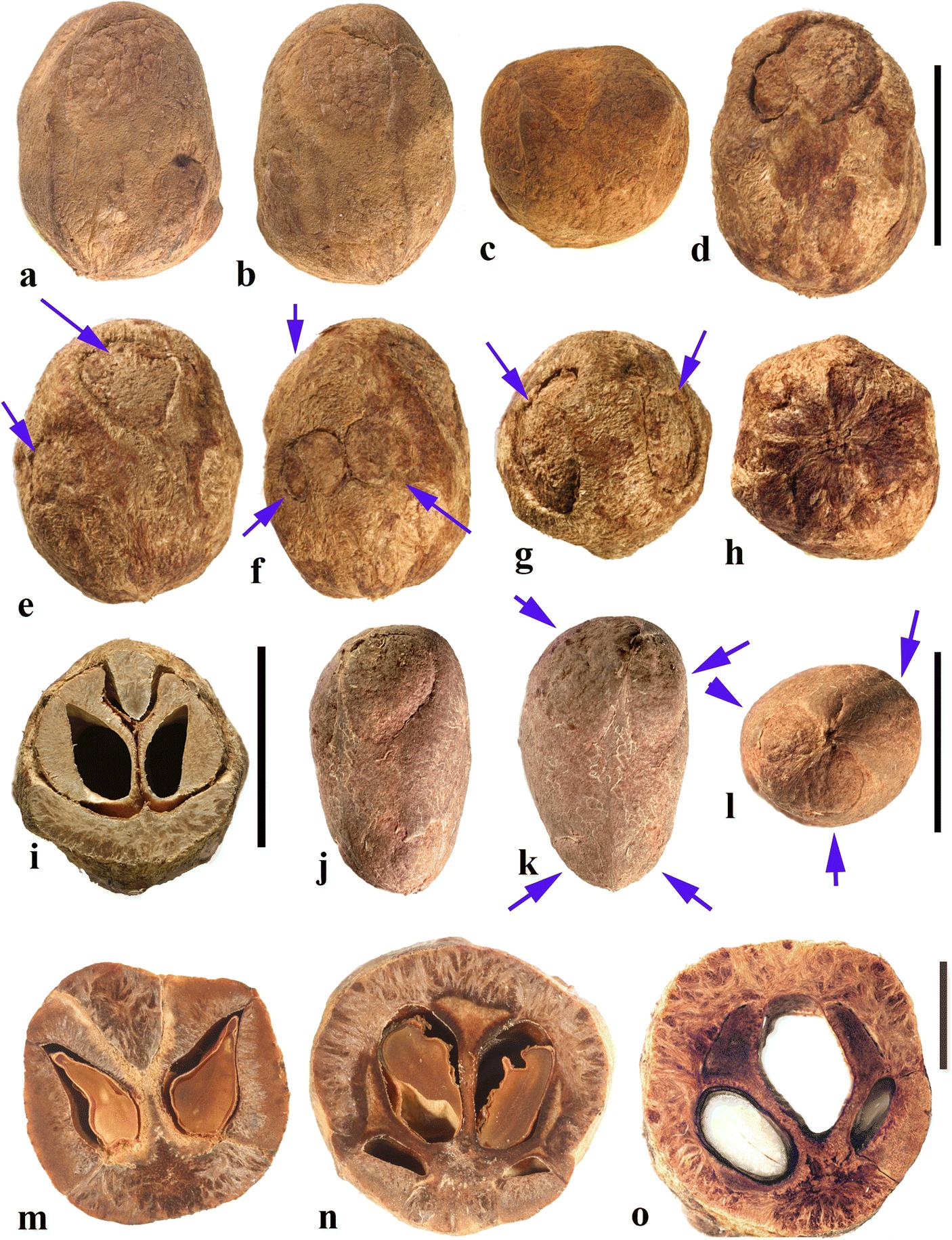 Fruit Morphology and Anatomy of the Spondioid Anacardiaceae