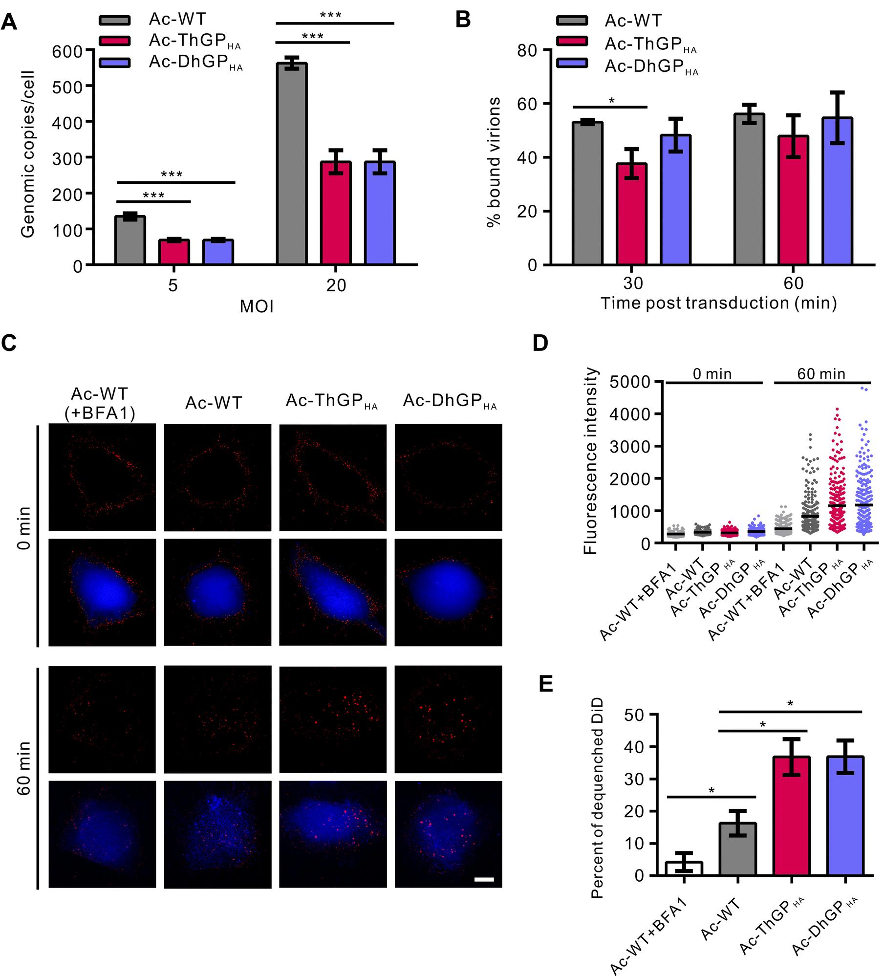 Improving Baculovirus Transduction of Mammalian Cells by