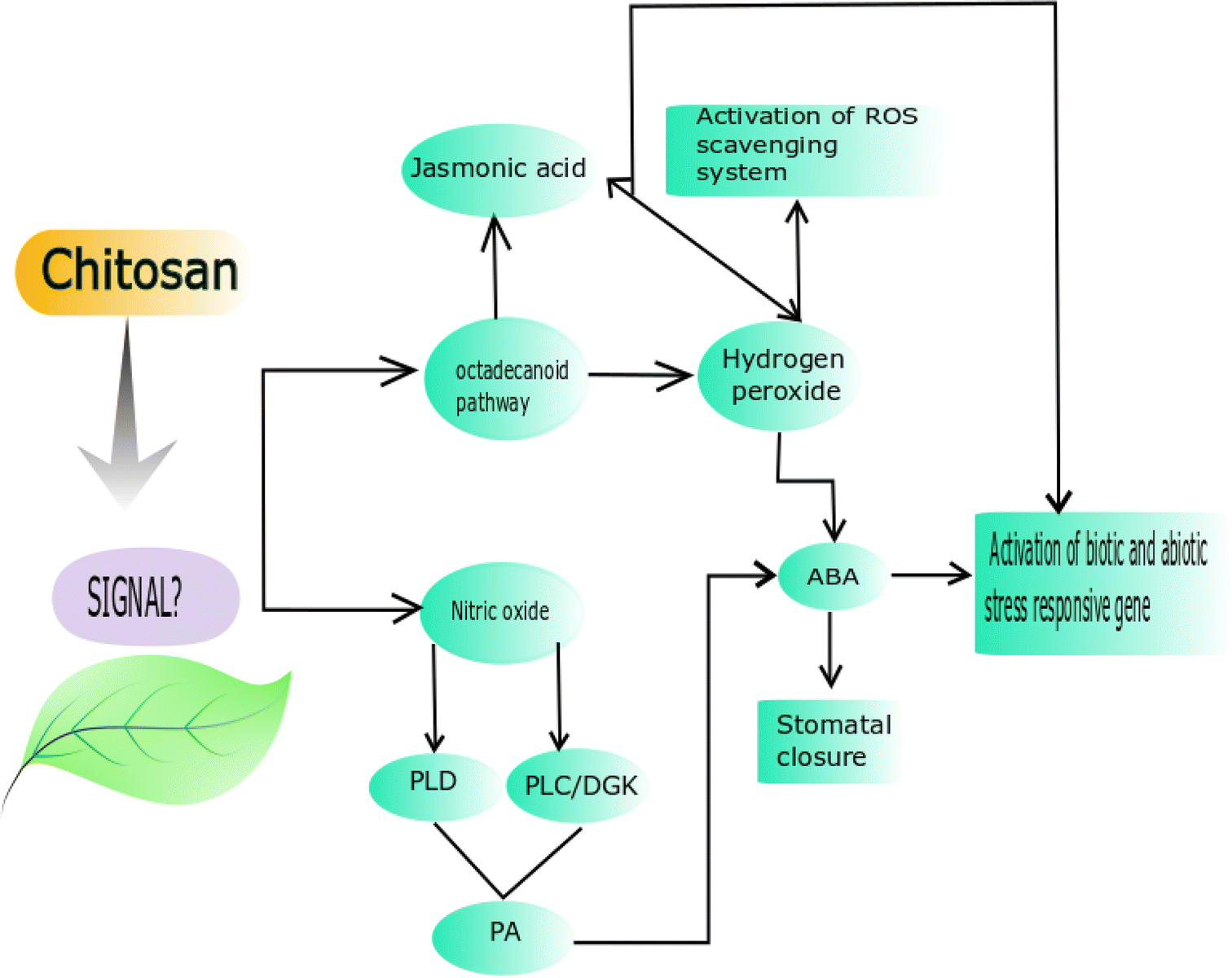 Application of chitosan on plant responses with special reference to