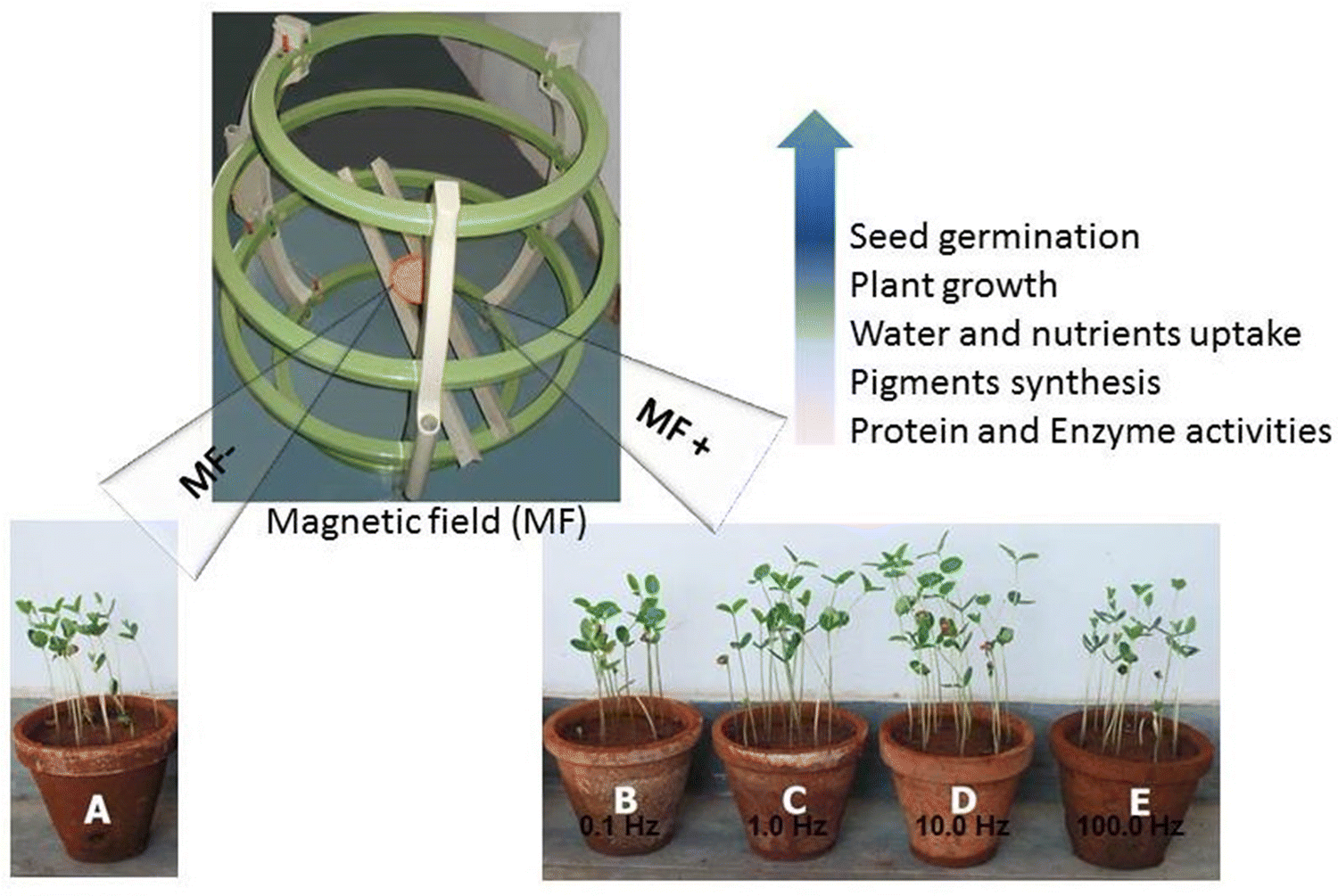 Magnetic field regulates plant functions, growth and