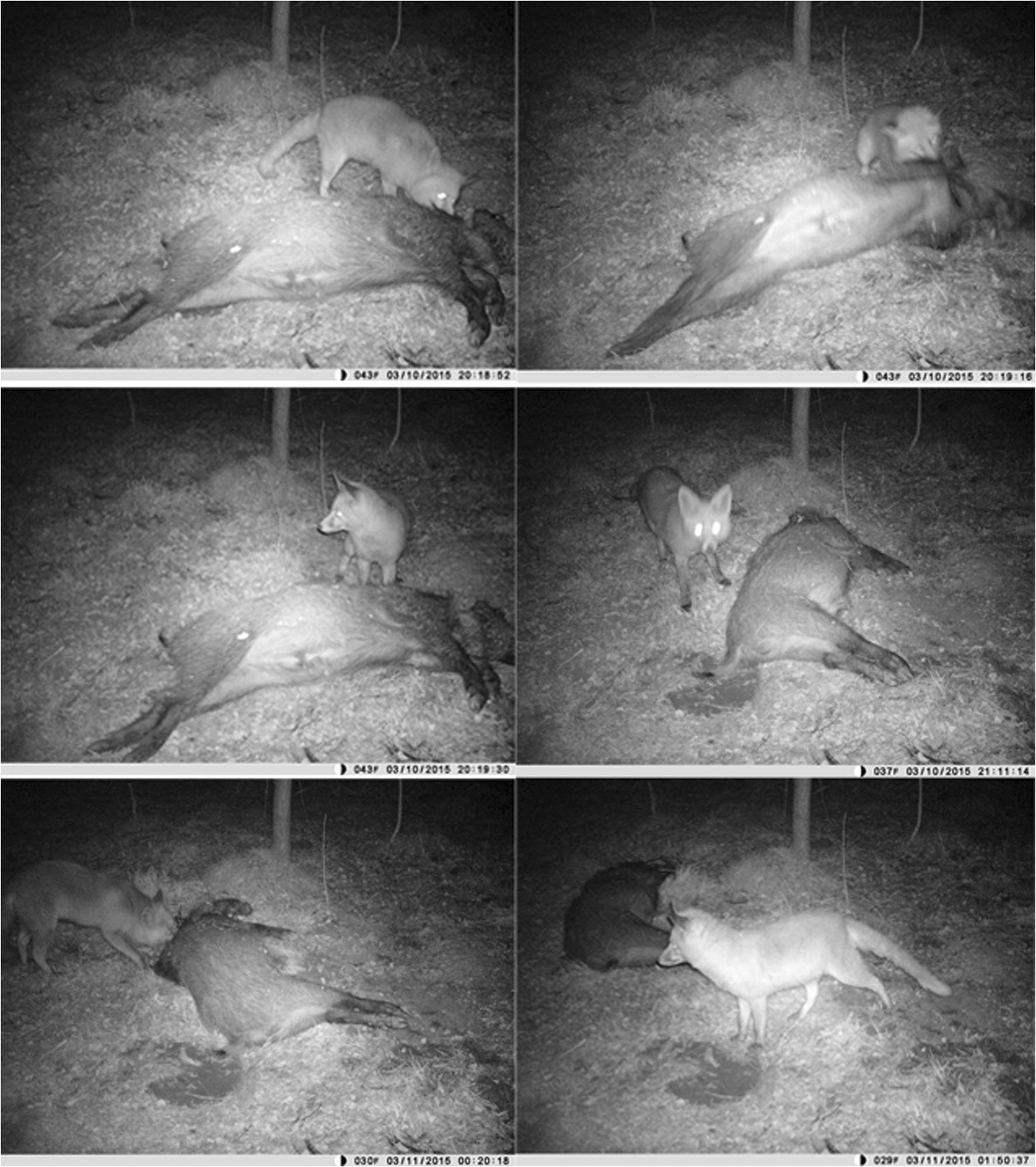 Contributing to characterise wild predator behaviour