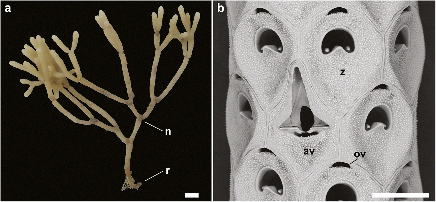 The articulated bryozoan genus Cellaria in the southern