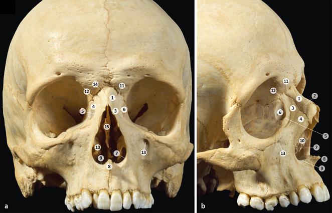 Klinische Anatomie der äußeren Nase | SpringerLink