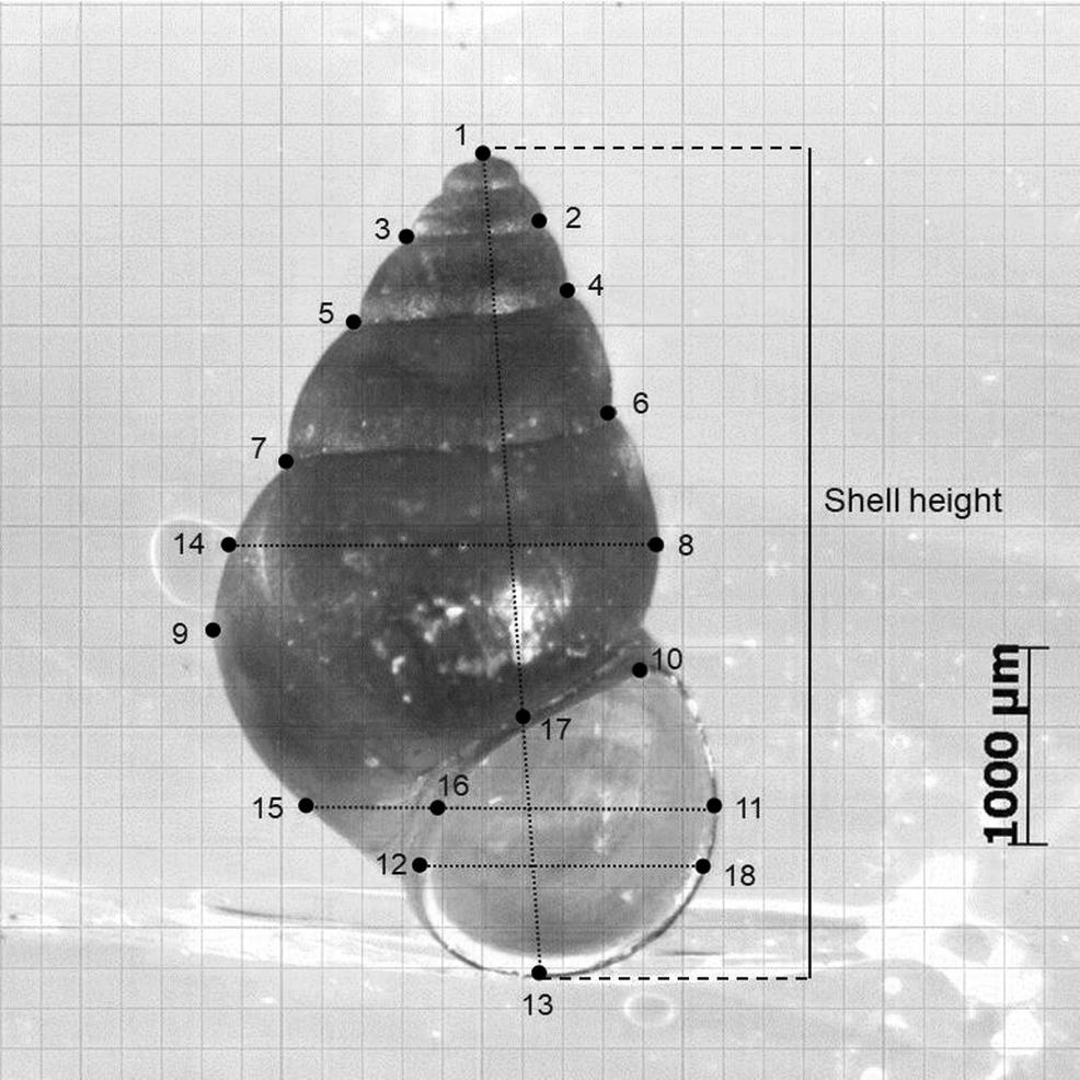 Ecomorphology of a generalist freshwater gastropod: complex ...