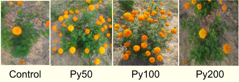 Nano pyrite (FeS2) root priming enhances chilli and marigold