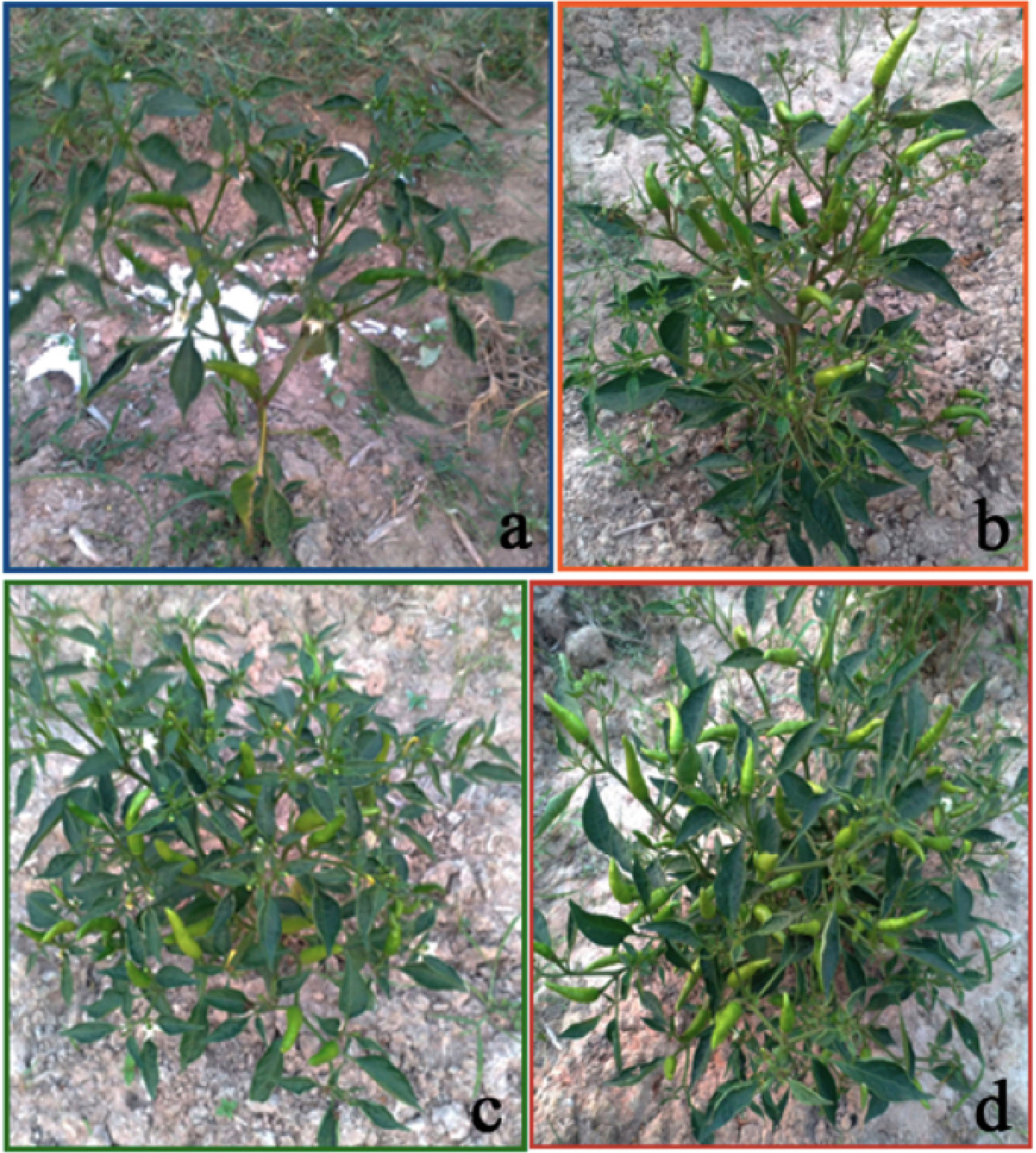 Nano pyrite (FeS2) root priming enhances chilli and marigold