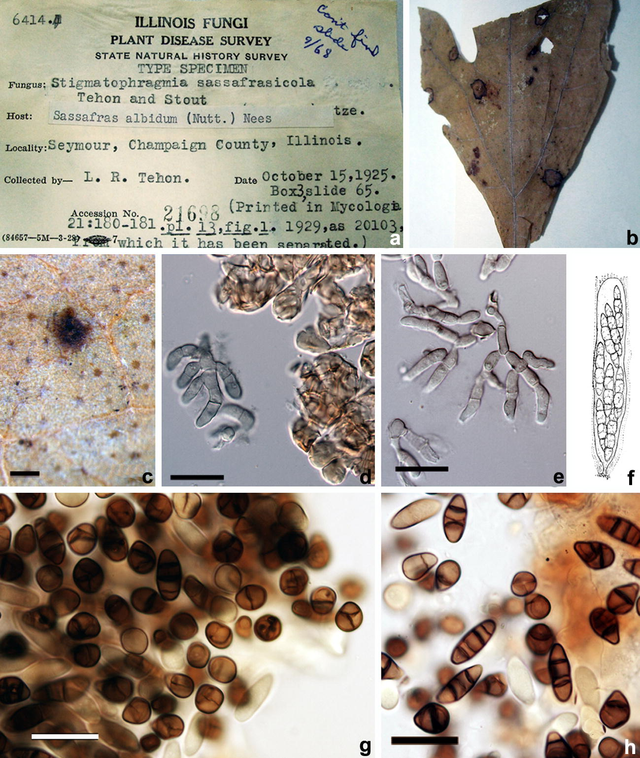 Taxonomy and the evolutionary history of Micropeltidaceae