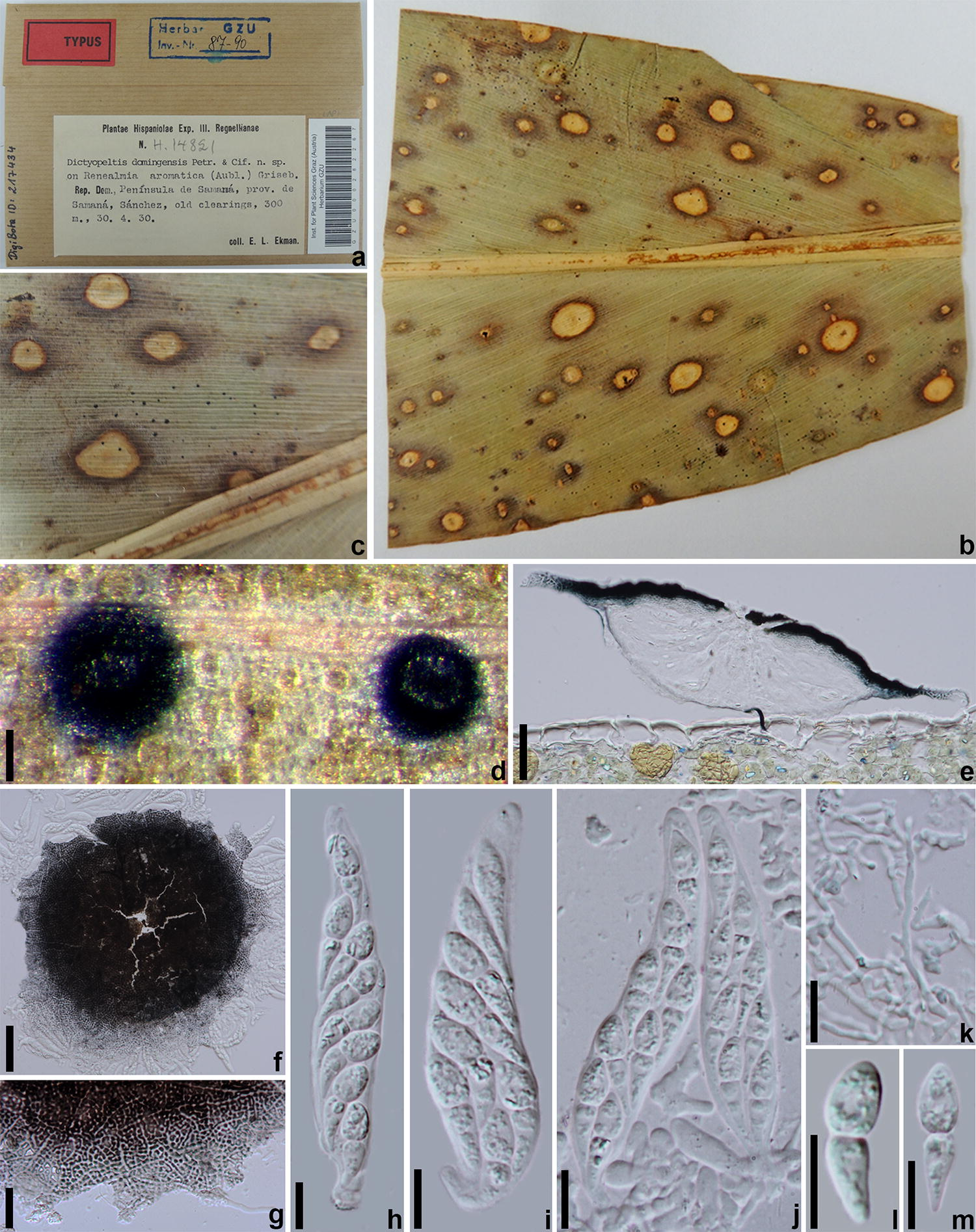 Taxonomy and the evolutionary history of Micropeltidaceae | SpringerLink