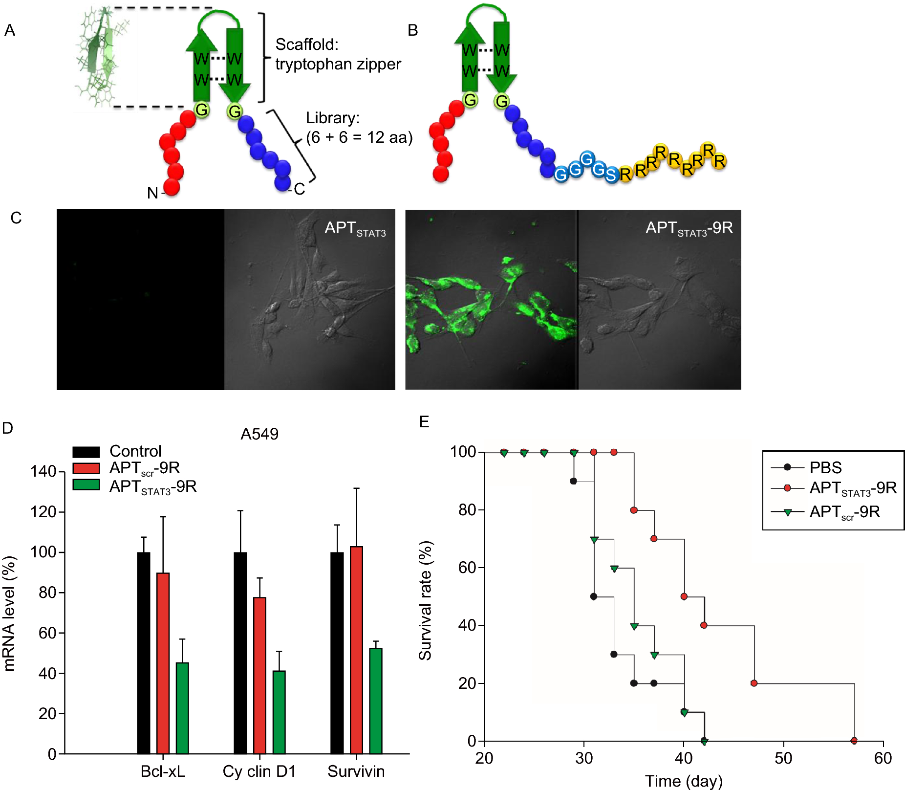 Phage display screening of therapeutic peptide for cancer targeting