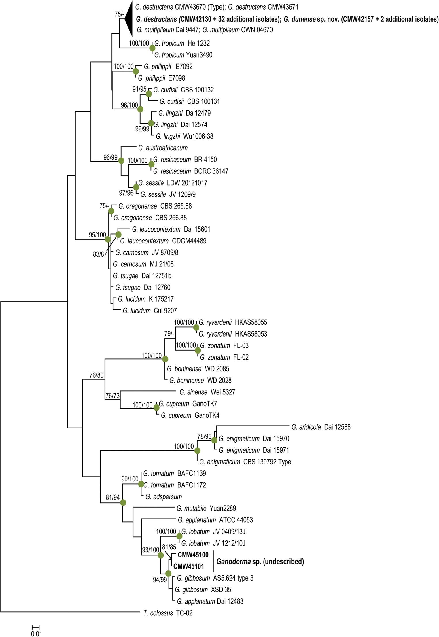 three ganoderma species including ganoderma dunense sp nov 72 Donk On 28 open image in new window