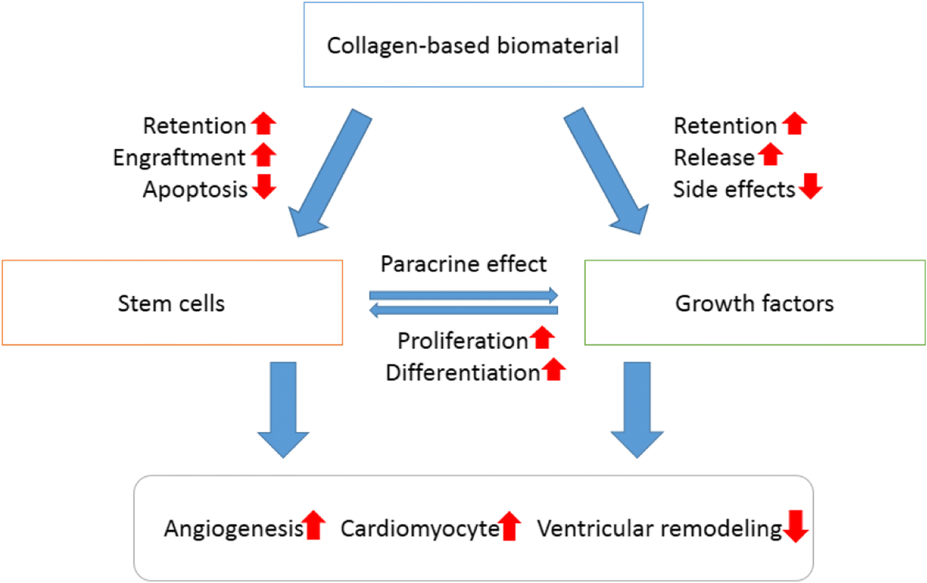 Collagen biomaterial for the treatment of myocardial infarction: an