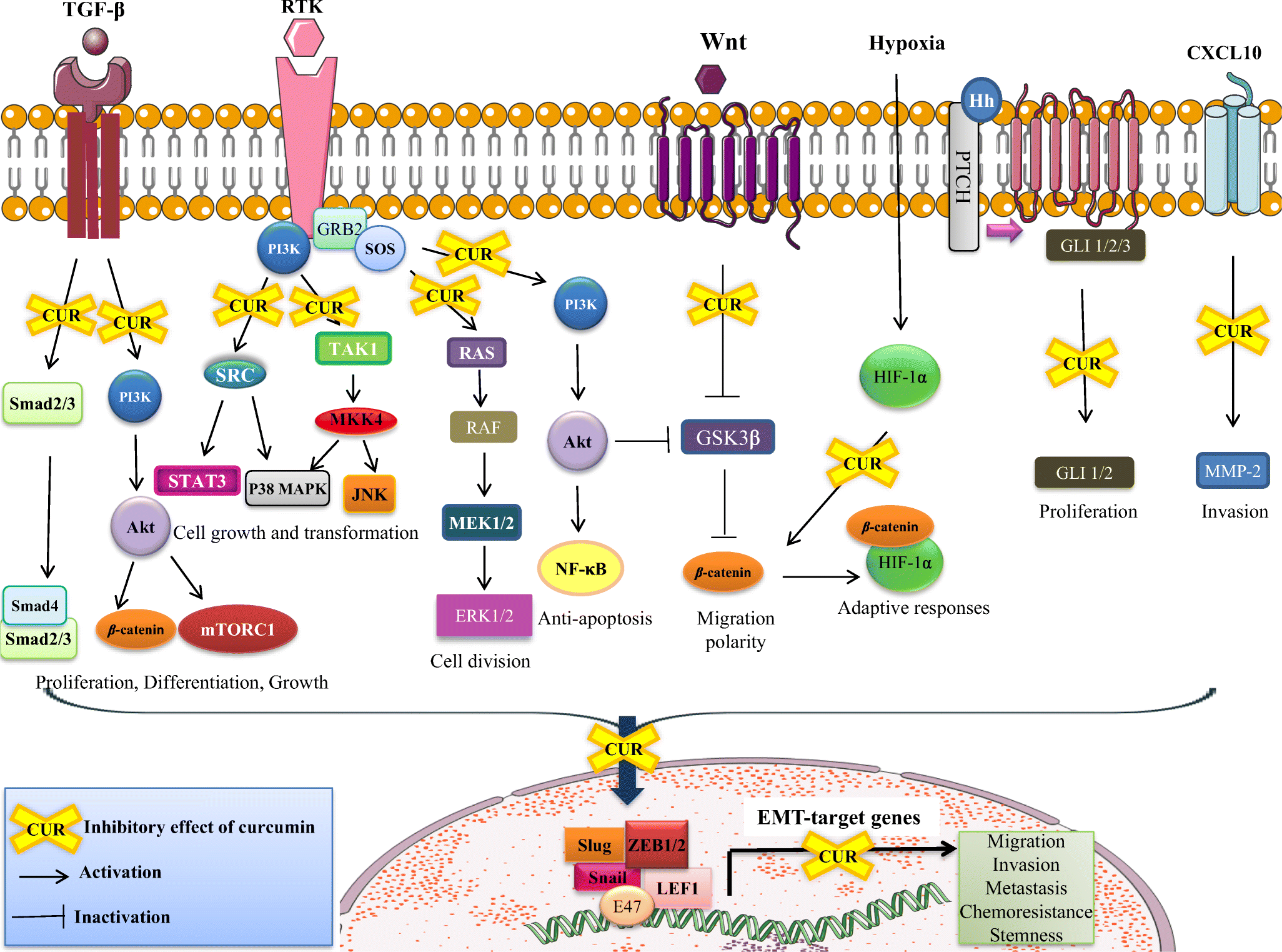 Curcumin: a potent agent to reverse epithelial-to-mesenchymal