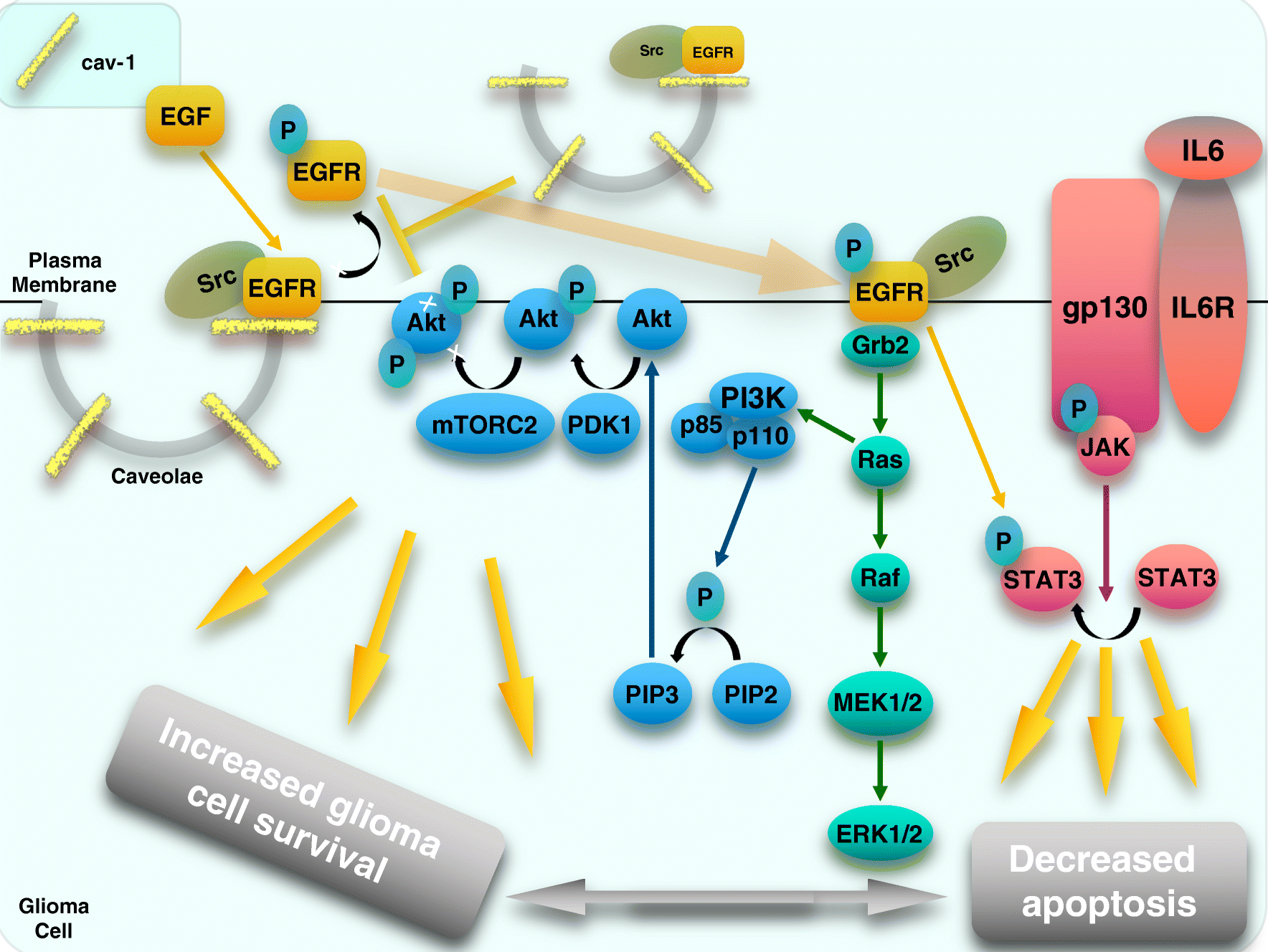 The role of caveolin-1 in tumors of the brain - functional and