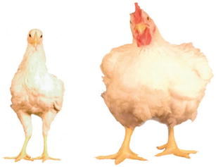 Breeding for efficiency in the broiler chicken: A review