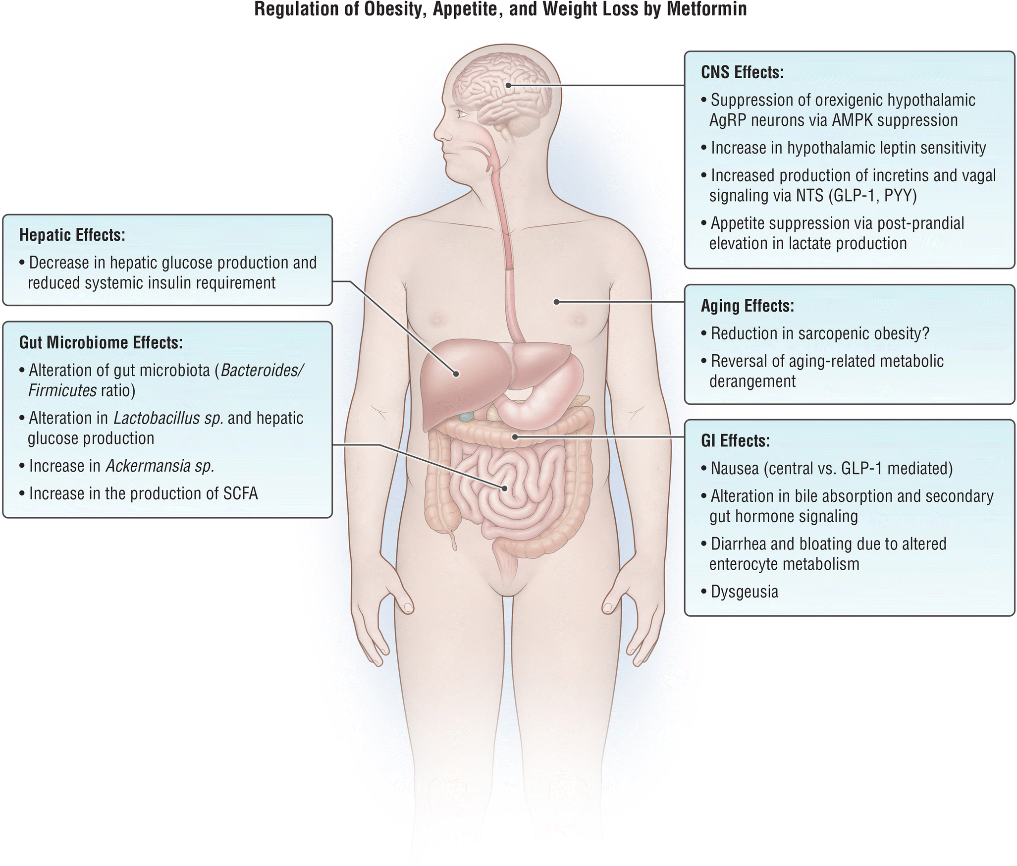 Metformin: Mechanisms in Human Obesity and Weight Loss
