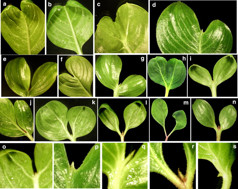 Abnormal Leaf Morphologies Associated with Primary and