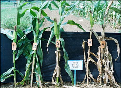 Banded Leaf and Sheath Blight of Maize: Historical Perspectives